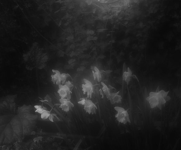 Black and white hazy image of what appears to be roses.